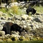 Bears - Canada 2012