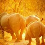 Rhinos, South Africa 2010