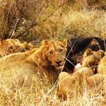Hungry Lions, South Africa 2010