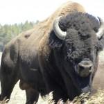 Beefalo - US 2011