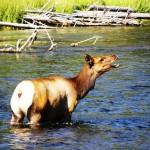Deer - US 2011