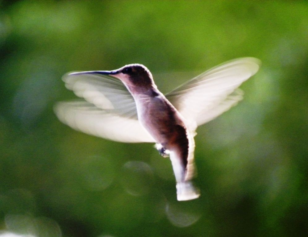 Hummingbird - US 2011