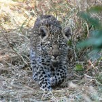 Baby Leopard - South Africa