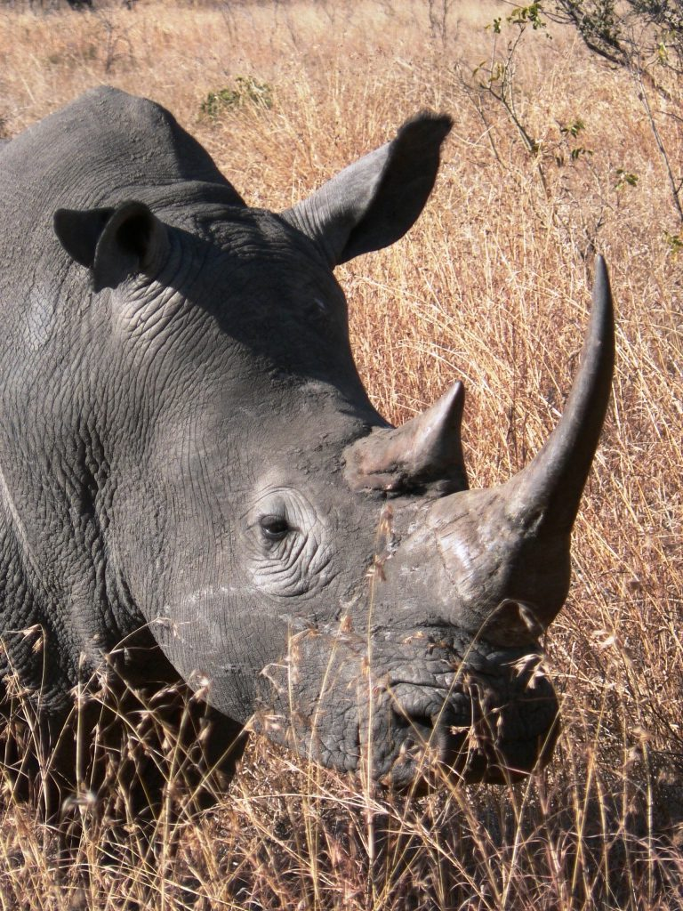 Rhino - South Africa