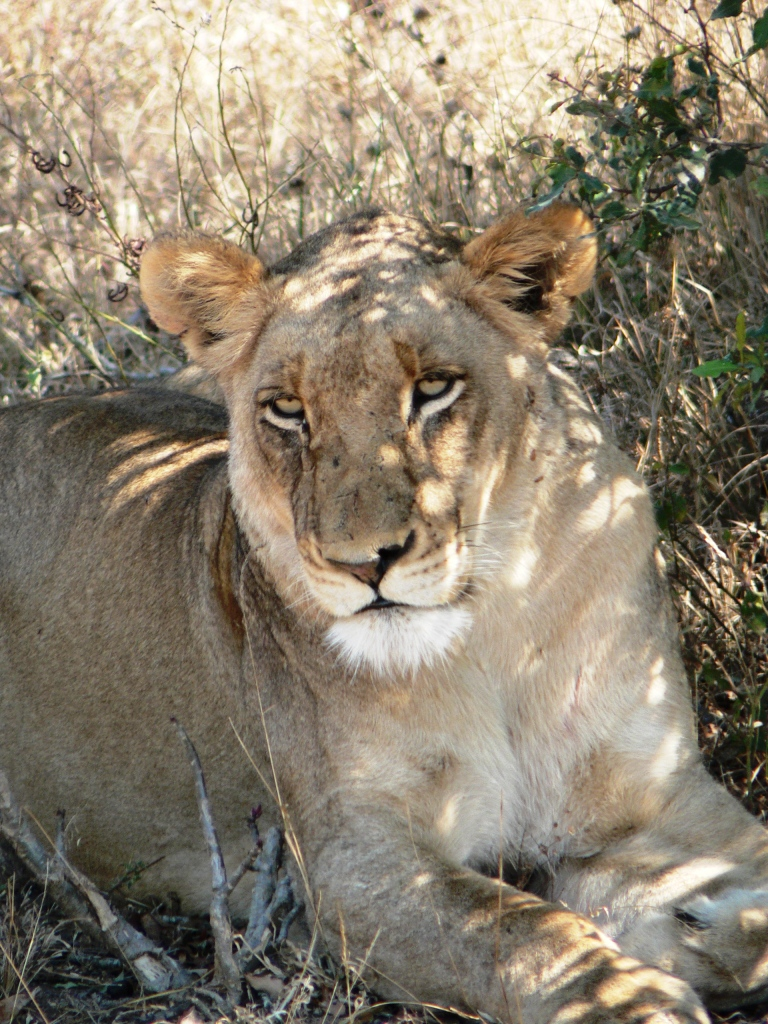 Lioness - South Africa