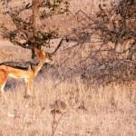 Jackel - Botswana