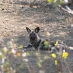 Wild Dog - Botswana