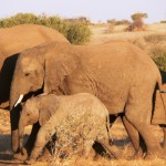 Elephants - Botswana