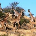 Giraffe Party, Kenya 2006