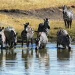 Zebras, NgoroNgoro 2006