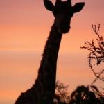 Giraffe - Botswana 2008