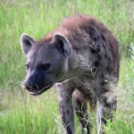 Hyena - Botswana 2008