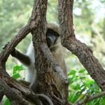 Cheeky Monkey - Botswana 2008