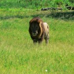 Lion - Botswana 2008