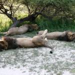 Sleeping Lions - Botswana 2008