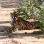 Cheetah - Namibia 2009