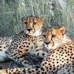 Cheetahs - Namibia 2009