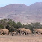 Elephants - Namibia 2009
