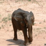Baby Elephant - Namibia 2009